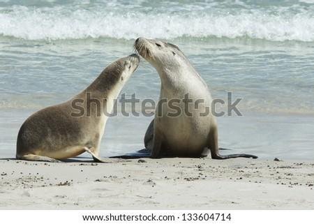 Seals colony on Seal Bay, Kangaroo Island, South Australia - stock photo