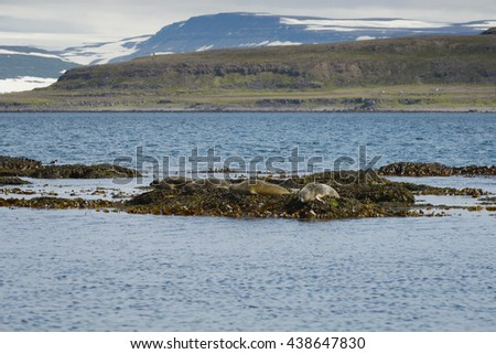 Seals resting on seaweeds at Westfjords peninsula, Vigur Island, Iceland. Shallow depth of focus - stock photo