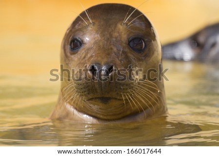 Seals seen swimming in the seal of the kent coast. - stock photo