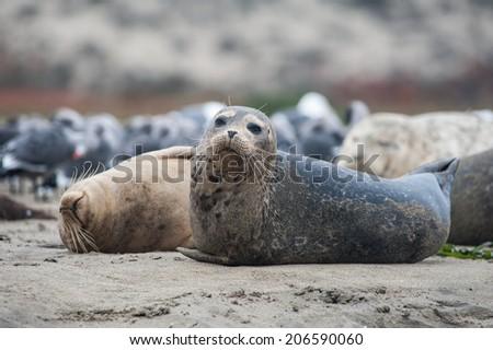Seals sleeping - stock photo