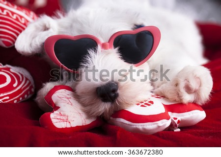 Sealyham Terrier puppy in pink glasses in heart-shaped - stock photo