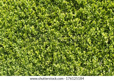 Seamless empty space background of green garden hedge surface