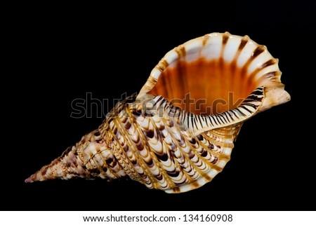 Seashell collection isolated on dark background, part of seashell collection, big seashell on dark background, one isolated big seashell of collection - stock photo