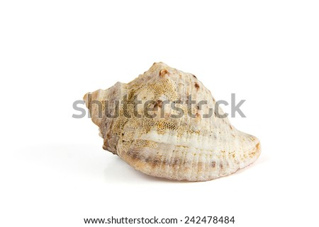 Seashell isolated from white