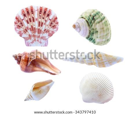 seashell isolated on white background. - stock photo