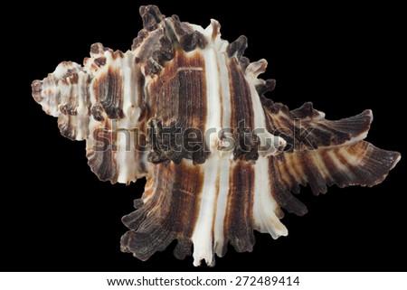 Seashell Murex invidia macro isolated on black - stock photo