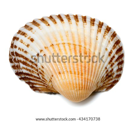 Seashell of anadara isolated on a white background. View from above. - stock photo