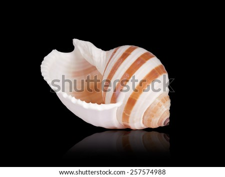 Seashell of Tonna Sulcosa on black background. Clipping path is included. - stock photo