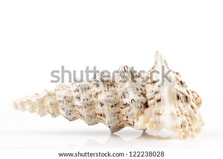 seashell on white background - stock photo