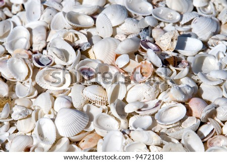 Seashells in mass on the beach on an island in florida - stock photo
