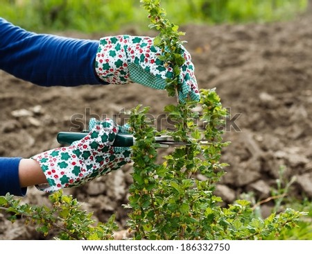 Seasonal gardening - pruning the gooseberry bush. - stock photo
