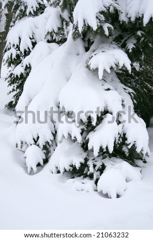 Seasonal, winter image of christmas trees covered in snow