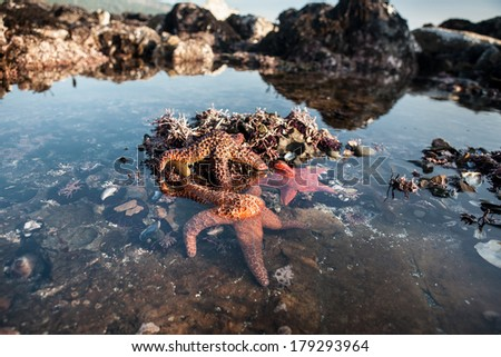 Seastars are found in a tide pool at Salt Point State Park in northern California, just north of San Francisco. The seastars are feeding on the plethora of mussels growing in the shallows. - stock photo