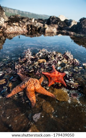 Seastars reside in a tide pool at Salt Point State Park in northern California, just north of San Francisco. The seastars are feeding on the plethora of mussels growing in the shallows. - stock photo