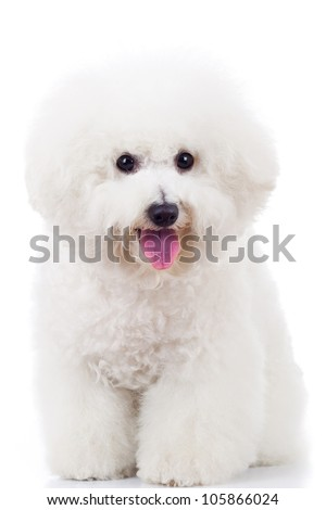 seated bichon frise puppy dog on a white background - stock photo
