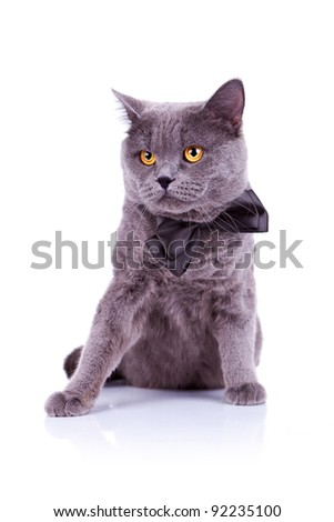 seated big english cat on a white background