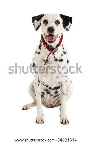 seated dalmatian  in front of a white background - stock photo