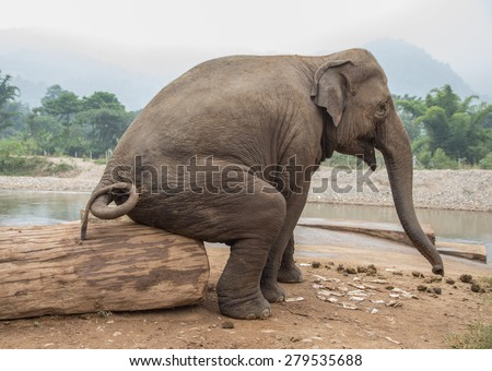 Seated elephant at an elephant nature park in Thailand. funny photo of Asian wild elephant seated by the stream.  - stock photo