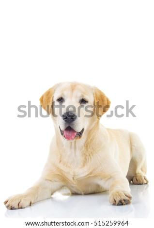 seated yellow labrador retriever with mouth open looking at the camera on white background