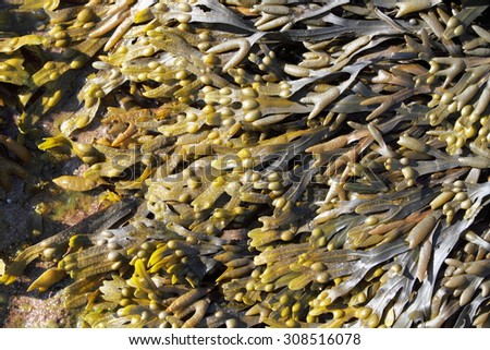 seaweed cultivation for cosmetic - stock photo