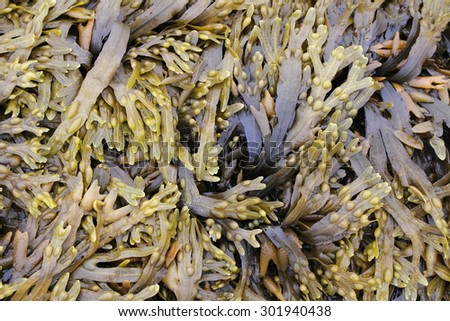 seaweed used in cooking and cosmetics natural products - stock photo