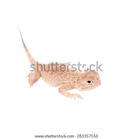 Secret Toad-Headed Agama on white - stock photo