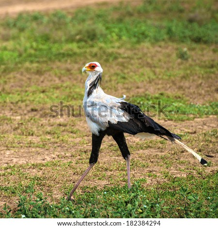 Secretary bird on a short grass in Africa - stock photo