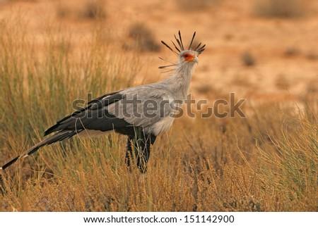 Secretary bird stare - stock photo