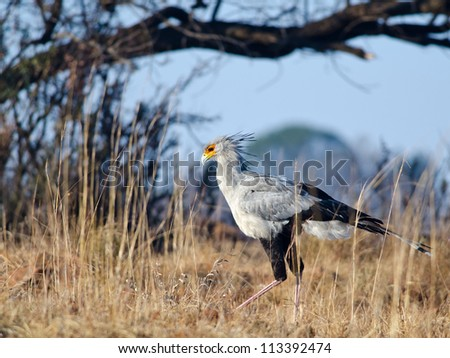 Secretary bird walking in grasslands with trees in the background - stock photo