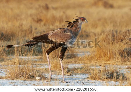 Secretary bird walking in the bush in search of prey - stock photo