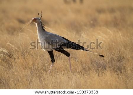 Secretary bird walking in yellow grass - stock photo