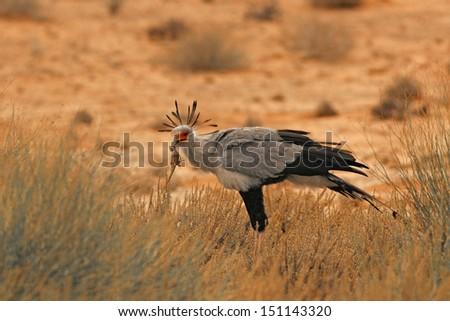 Secretarybird with prey - stock photo