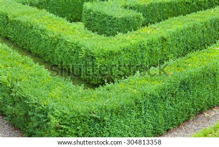 Section of a maze made from hedging. - stock photo