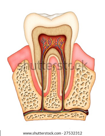 Section of a molar showing its internal structure. Digital illustration. - stock photo