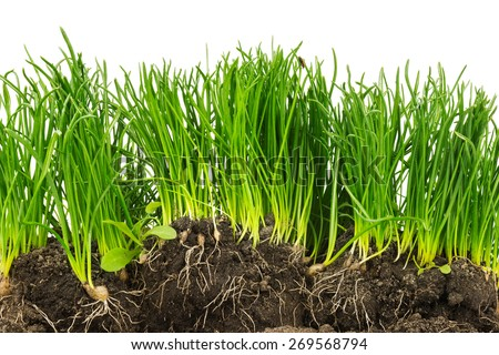 Section of green plants with roots and soil isolated on white background - stock photo