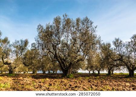 Secular Olive Tree - stock photo