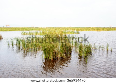 sedge or grass field at lake or swamp. - stock photo