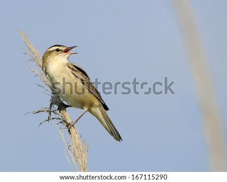 sedge warbler [Acrocephalus schoenobaenus] - stock photo