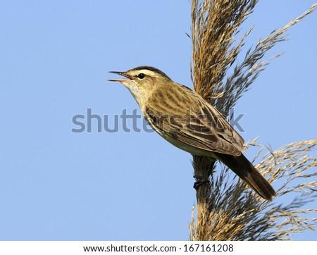 sedge warbler, Acrocephalus schoenobaenus, Schilfrohrsaenger, Germany - stock photo