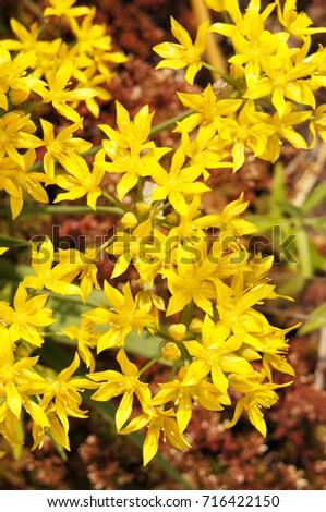 Sedum acre many yellow flowers stock photo royalty free 716422150 sedum acre many yellow flowers mightylinksfo