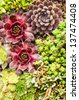 Sedum and sempervivium plants suitable for green roof applications - stock photo