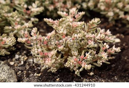Sedum hispanicum. Succulent. - stock photo