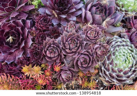 Sedum plants for use with a greenroof - stock photo
