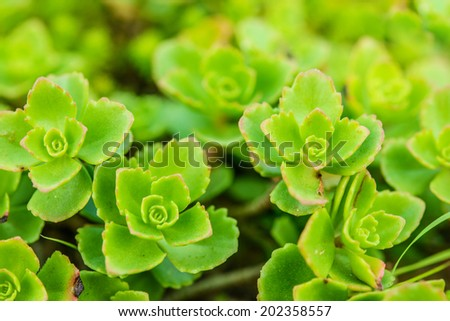 Sedum (stonecrop Spanish) close up in a summer city park.