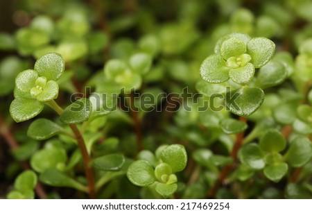 Sedum tetractinum. Houseplant. Succulent. - stock photo