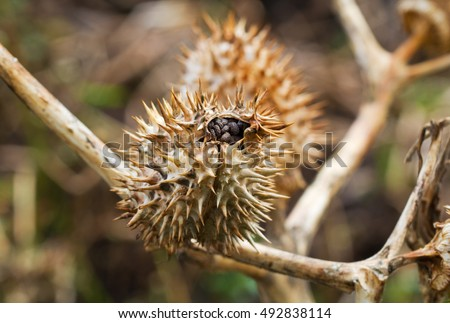 Seed capsule of Thornapple (Datura stramonium), also known as Jimson weed or Devilas snare, Datura stramonium