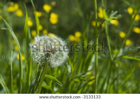 seed of a hawk-bit between yellow flowers