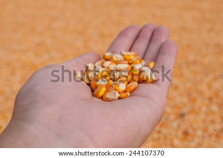 seed of corn (maize) in the hand palm - stock photo