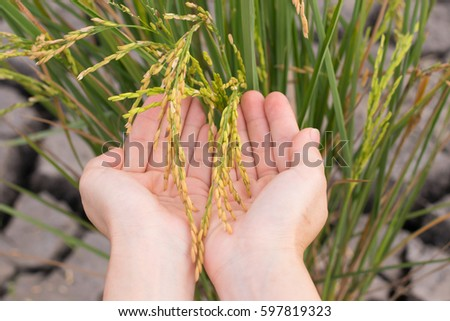 seed of rice on the hand of women in the arid rice field
