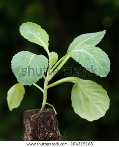 Seedling,cabbage plant - stock photo